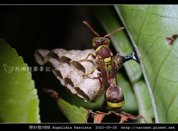帶鈴腹胡蜂 Ropalidia fasciata_1.jpg