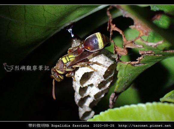 帶鈴腹胡蜂 Ropalidia fasciata_7.jpg