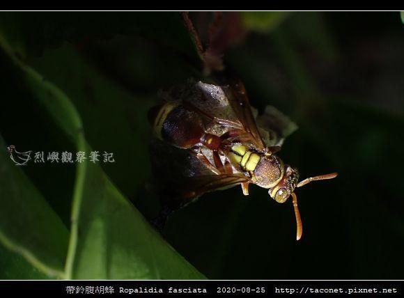 帶鈴腹胡蜂 Ropalidia fasciata_2.jpg