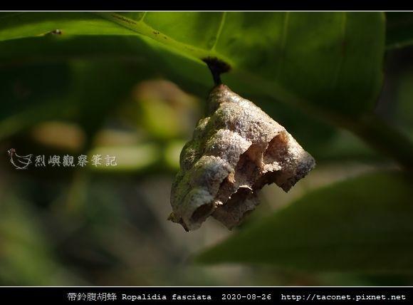 帶鈴腹胡蜂 Ropalidia fasciata_6.jpg