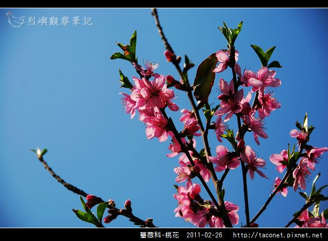 薔薇科-桃花_14.jpg