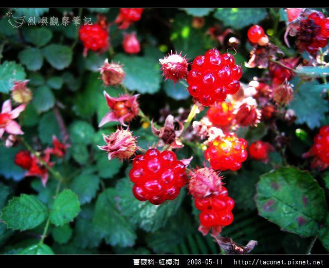 薔薇科-紅梅消-17.jpg