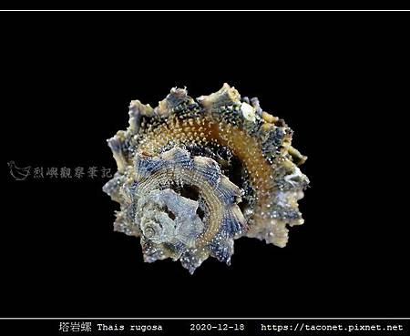 塔岩螺 Thais rugosa_05.jpg