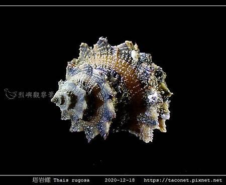 塔岩螺 Thais rugosa_06.jpg