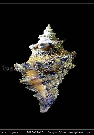 塔岩螺 Thais rugosa_10.jpg
