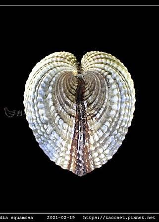 歪簾蛤 Anomalocardia squamosa _05.jpg