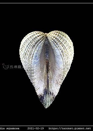 歪簾蛤 Anomalocardia squamosa _06.jpg