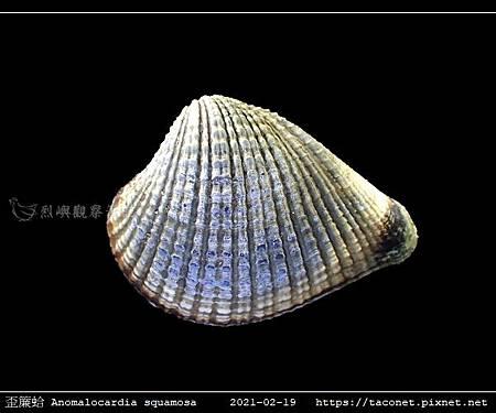 歪簾蛤 Anomalocardia squamosa _04.jpg