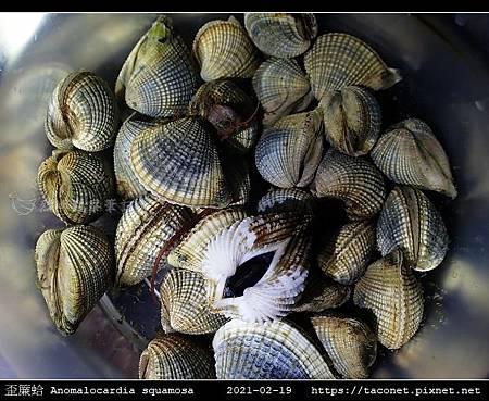 歪簾蛤 Anomalocardia squamosa _02.jpg