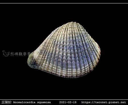 歪簾蛤 Anomalocardia squamosa _03.jpg