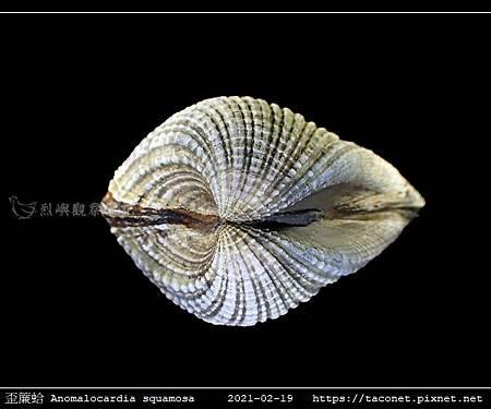 歪簾蛤 Anomalocardia squamosa _08.jpg