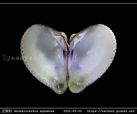 歪簾蛤 Anomalocardia squamosa _10.jpg