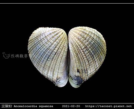歪簾蛤 Anomalocardia squamosa _11.jpg