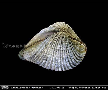 歪簾蛤 Anomalocardia squamosa _09.jpg