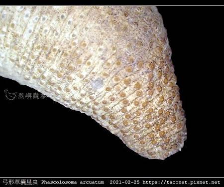 弓形革囊星蟲 Phascolosoma arcuatum_4.jpg