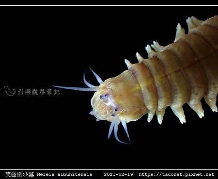 雙齒圍沙蠶 Nereis aibuhitensis_04.jpg