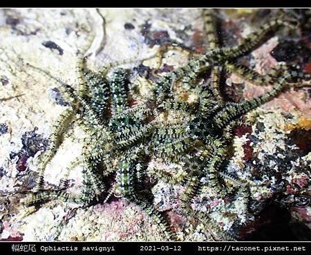 輻蛇尾 Ophiactis savignyi_03.jpg