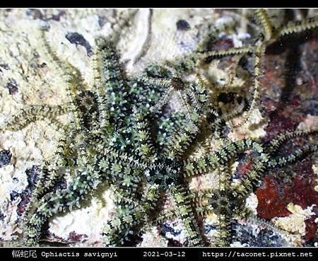 輻蛇尾 Ophiactis savignyi_02.jpg