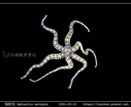 輻蛇尾 Ophiactis savignyi_09.jpg