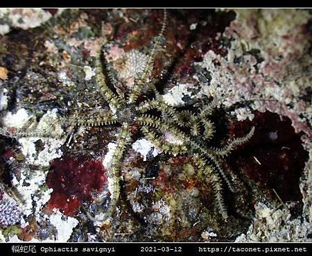 輻蛇尾 Ophiactis savignyi_01.jpg