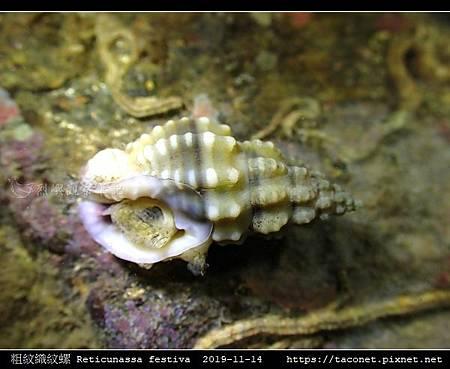 粗紋織紋螺 Reticunassa festiva_12.jpg