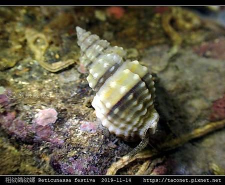粗紋織紋螺 Reticunassa festiva_11.jpg