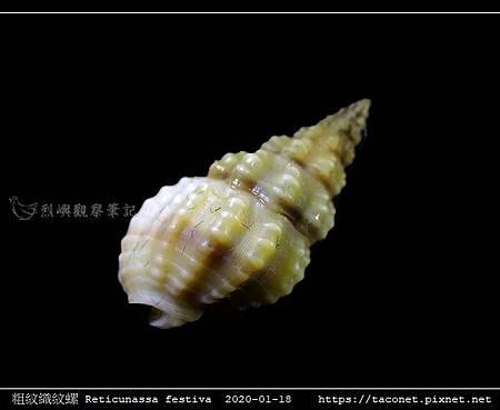 粗紋織紋螺 Reticunassa festiva_03.jpg