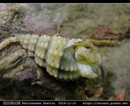粗紋織紋螺 Reticunassa festiva_10.jpg