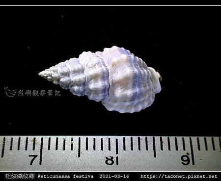 粗紋織紋螺 Reticunassa festiva_05.jpg