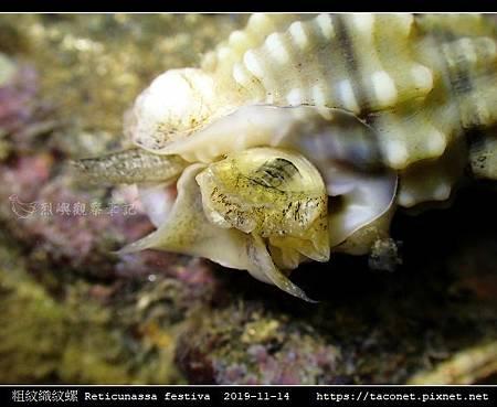 粗紋織紋螺 Reticunassa festiva_13.jpg