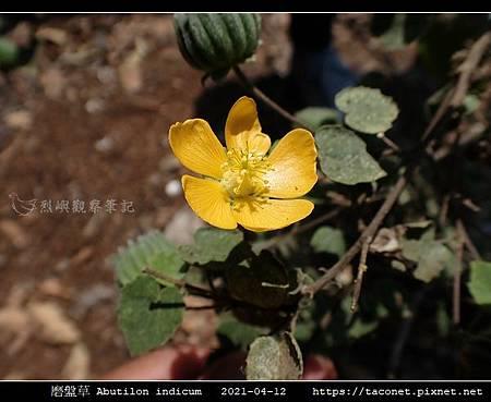 磨盤草 Abutilon indicum_01.jpg