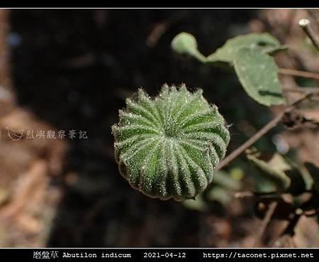 磨盤草 Abutilon indicum_02.jpg