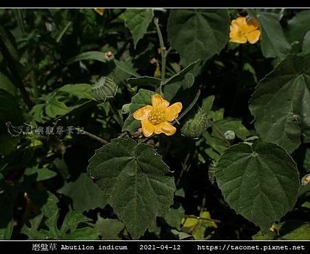 磨盤草 Abutilon indicum_12.jpg