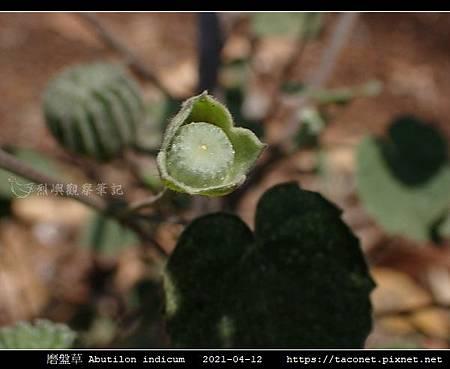 磨盤草 Abutilon indicum_09.jpg