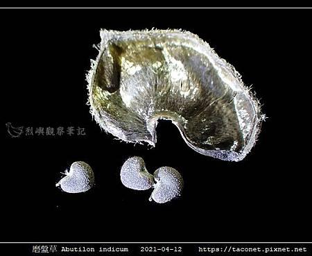 磨盤草 Abutilon indicum_15.jpg