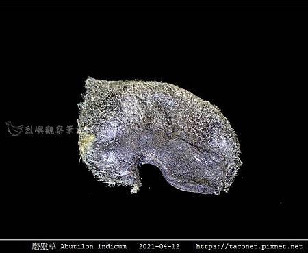磨盤草 Abutilon indicum_14.jpg