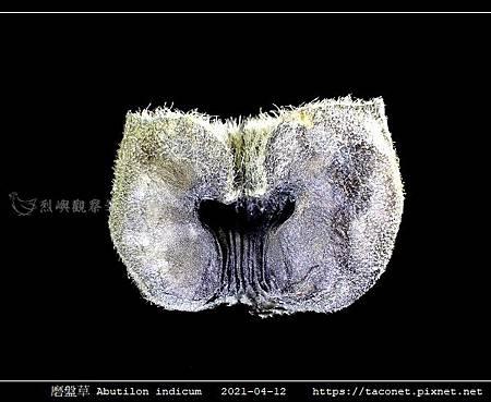 磨盤草 Abutilon indicum_13.jpg