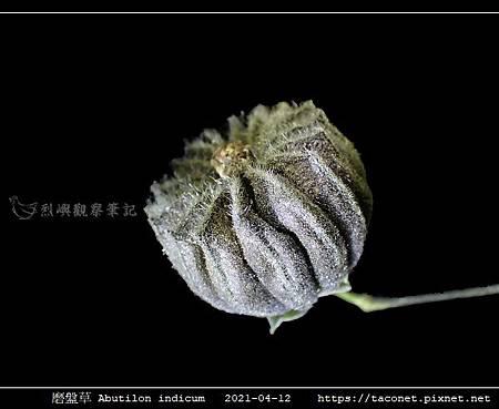 磨盤草 Abutilon indicum_19.jpg