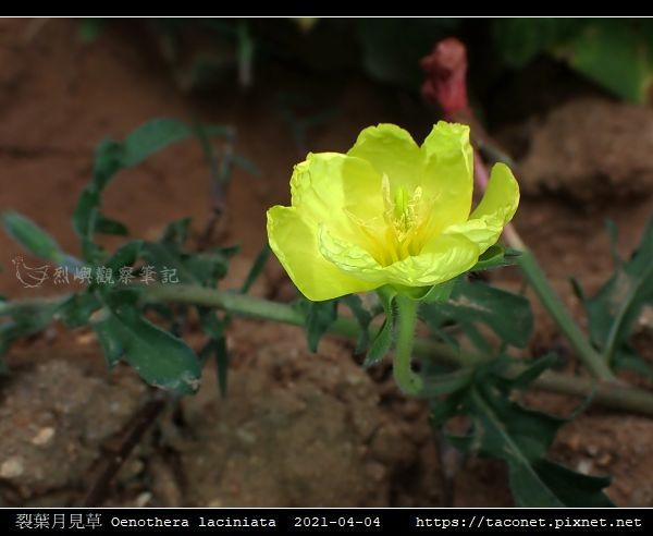 裂葉月見草 Oenothera laciniata_07.jpg