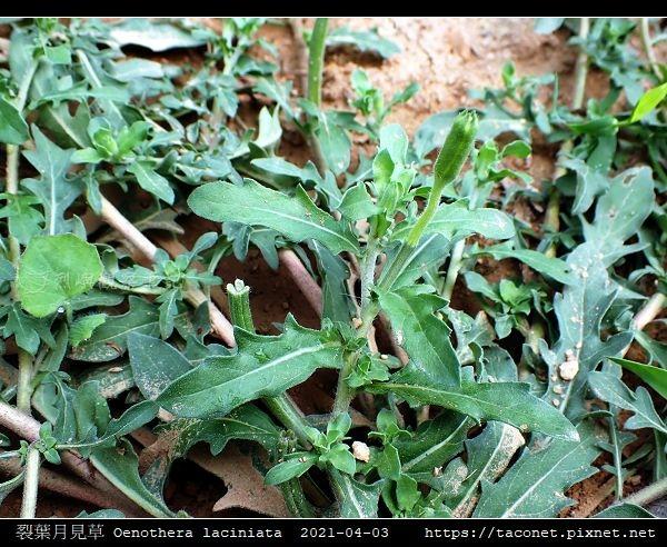 裂葉月見草 Oenothera laciniata_03.jpg