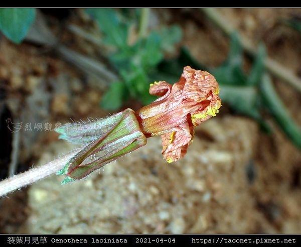 裂葉月見草 Oenothera laciniata_06.jpg