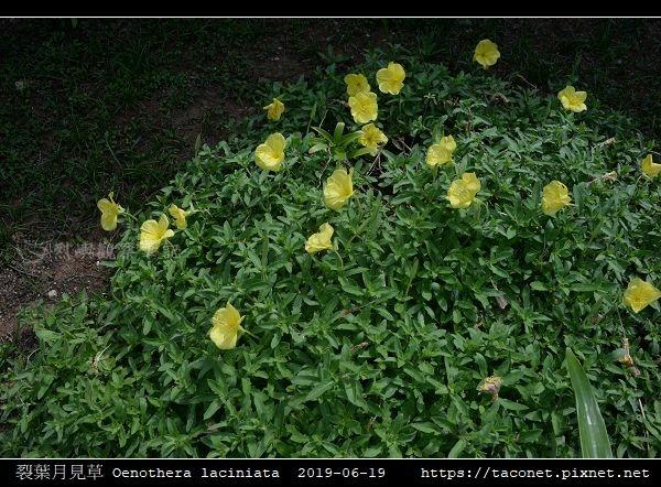 裂葉月見草 Oenothera laciniata_01.jpg