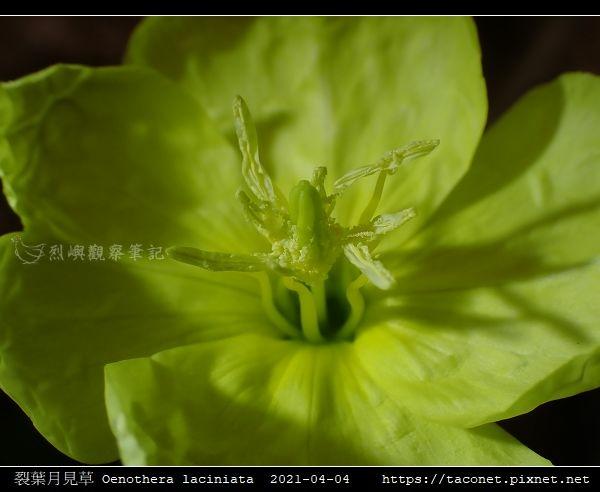 裂葉月見草 Oenothera laciniata_08.jpg