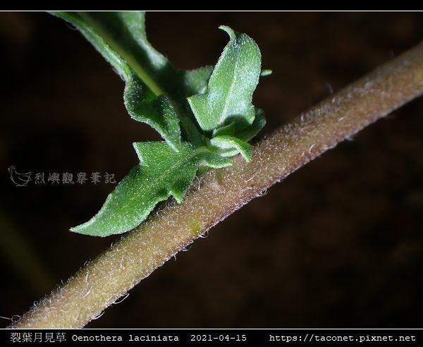 裂葉月見草 Oenothera laciniata_11.jpg