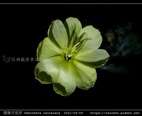 裂葉月見草 Oenothera laciniata_09.jpg