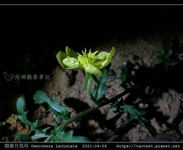 裂葉月見草 Oenothera laciniata_10.jpg