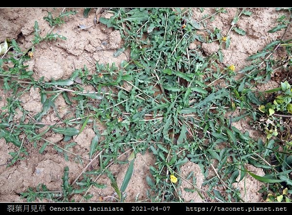 裂葉月見草 Oenothera laciniata_02.jpg