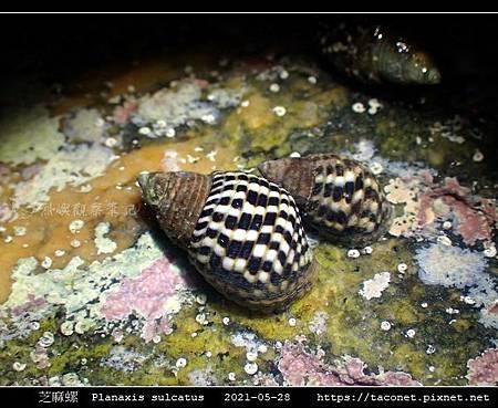 芝麻螺 Planaxis sulcatus_1.jpg