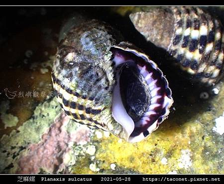 芝麻螺 Planaxis sulcatus_3.jpg