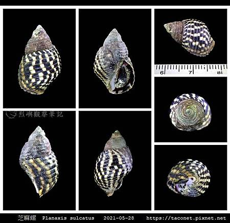 芝麻螺 Planaxis sulcatus_5.jpg